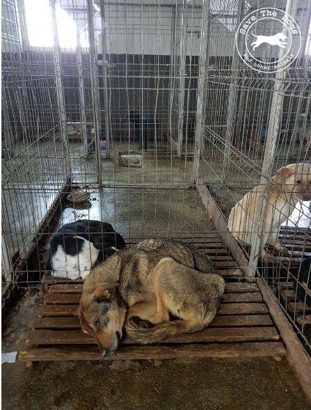 """Save The Dogs scrive alla Campionessa Simona Halep: """"Diventa la Voce dei Cani Uccisi nella tua Città"""""""