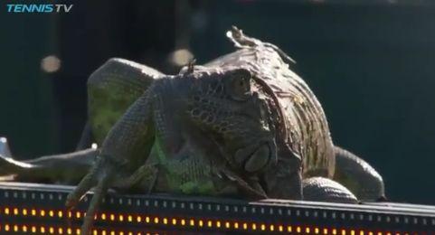 Video del Giorno: Alla fine arrivò l'Iguana